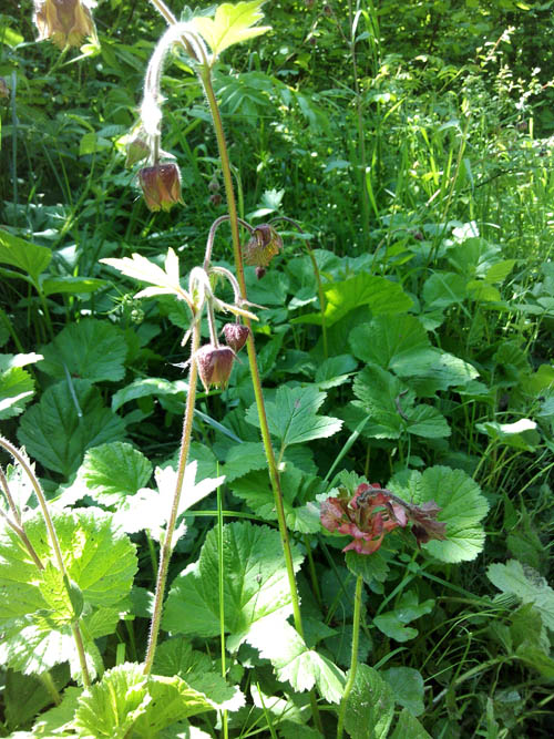 Infected water avens