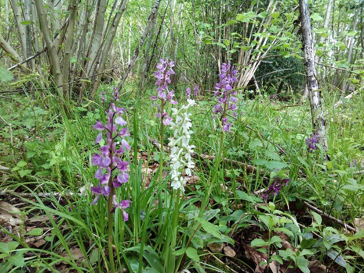 Albino purple orchid