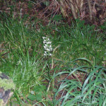 Butterfly orchid in the coppice